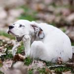 Help! My dog has fleas