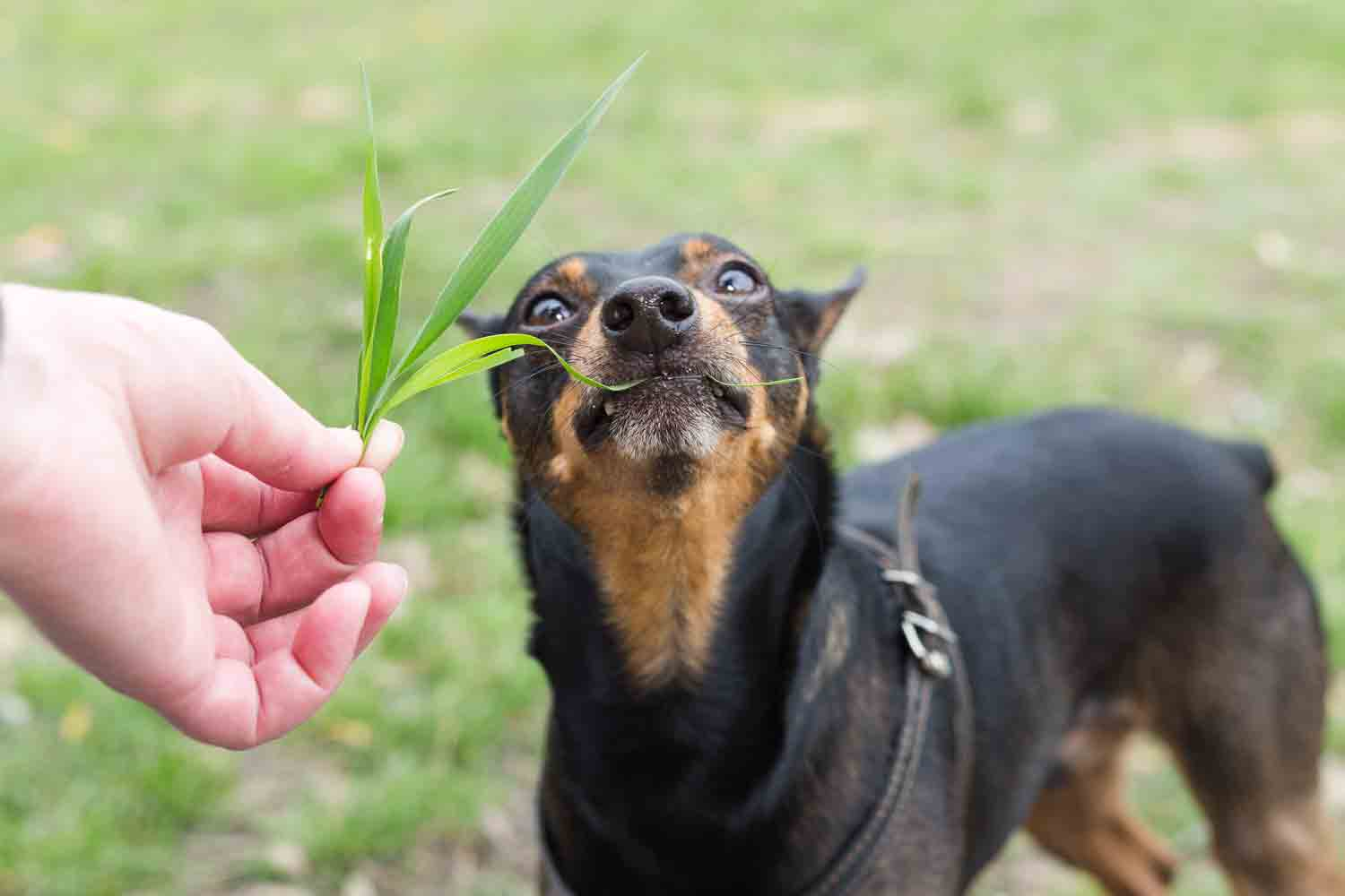 DigIn-dog-eat-grass.jpg