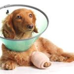 5 Common Dachshund Health Problems