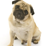 5 Common Pug Health Problems