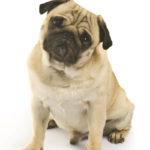 5 Common Pug Health Problems