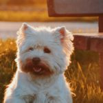 Reddish Tear Stains on Dogs – What are they, how to get rid of them and more.